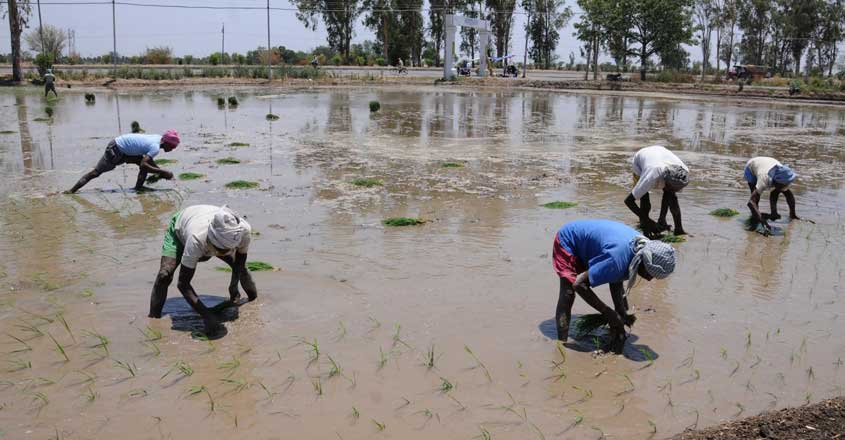 Amritsar: Farmers busy planting paddy saplings at a field near Amritsar, on June 14, 2019. The Punjab government permitted paddy growers to transplant their crops from June 13 instead of June 20, the date fixed earlier, following requests from various farmer organisations. (Photo: IANS)