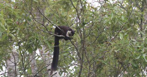 malayan-giant-squirrel