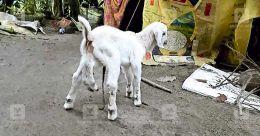 Six-legged newborn goat startles Alappuzha village