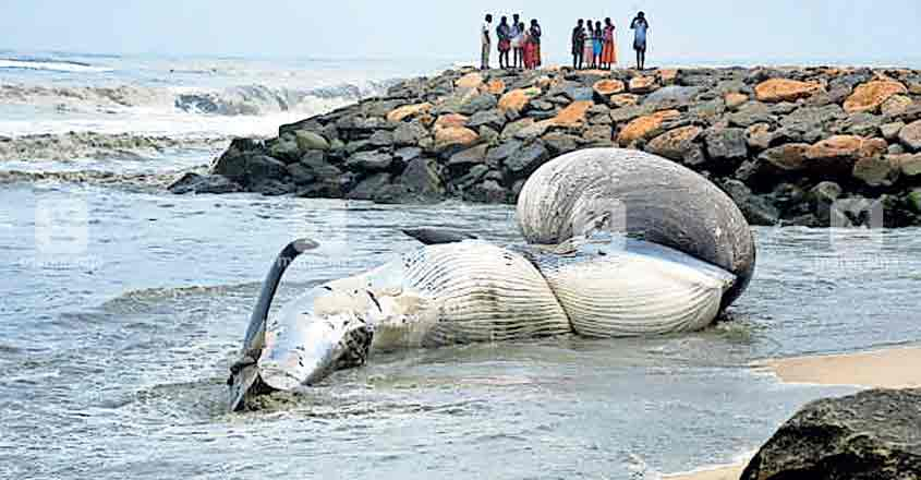 Carcass of elephant seal washes ashore on Cherthala beach