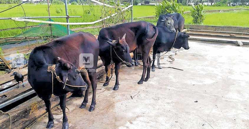ernakulam-cows