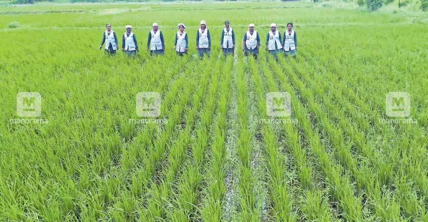 ernakulam-paddy-farm