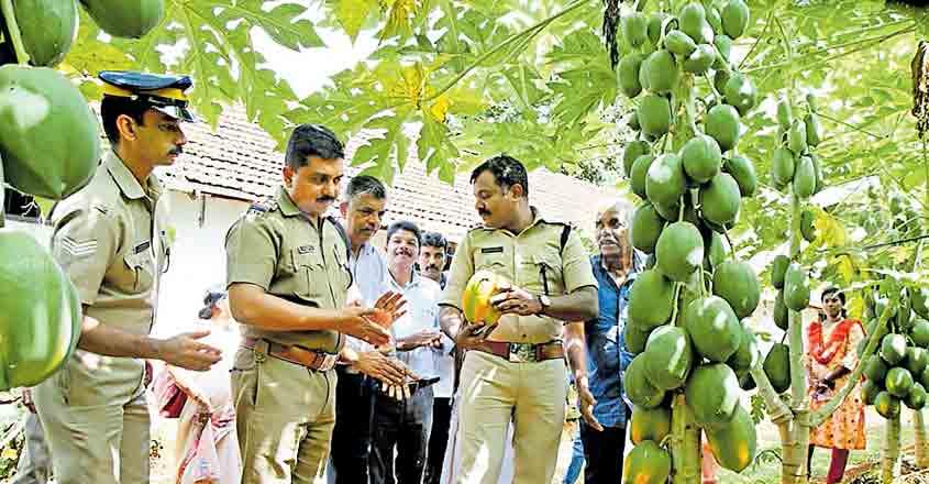 Cops turn derelict plot into papaya orchard