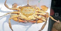 Crab exports hit amid coronavirus scare in China