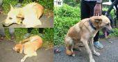 Kochi driver arrested for dragging pet dog behind car