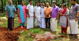 Wild elephant kills farmer's calf in Kothamangalam