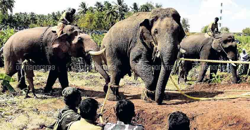 Darts, kumkis help to catch rogue elephant Chinnathambi