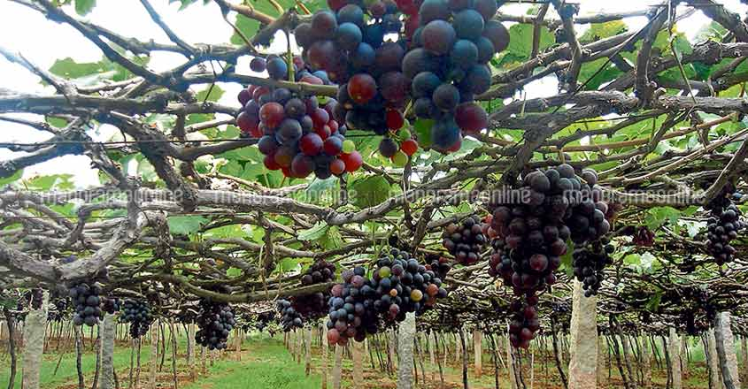 Vineyards attracting tourists