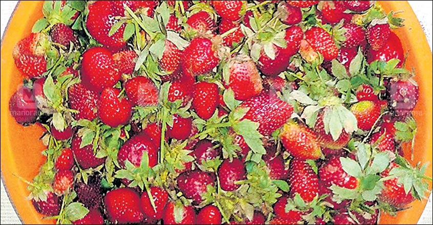Strawberry sales slump but now used to make jam & wine in Idukki