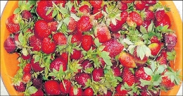 Strawberry sales slump, production of value-added products surge in Idukki