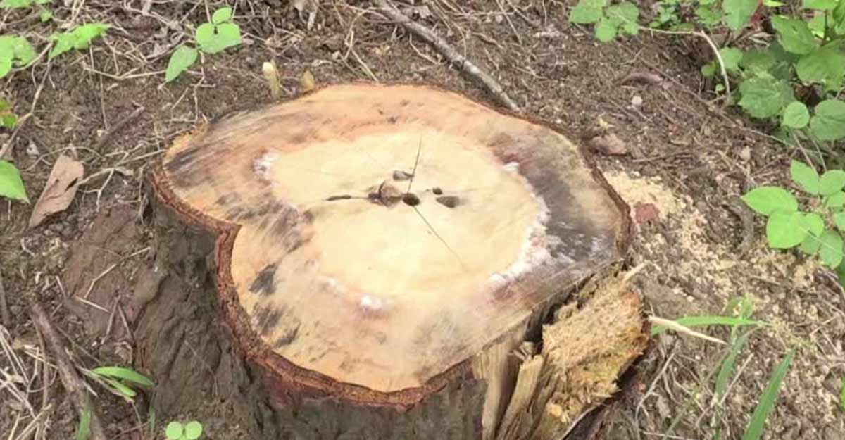 Sandalwood trees, worth Rs 50 lakh, stolen from Marayoor