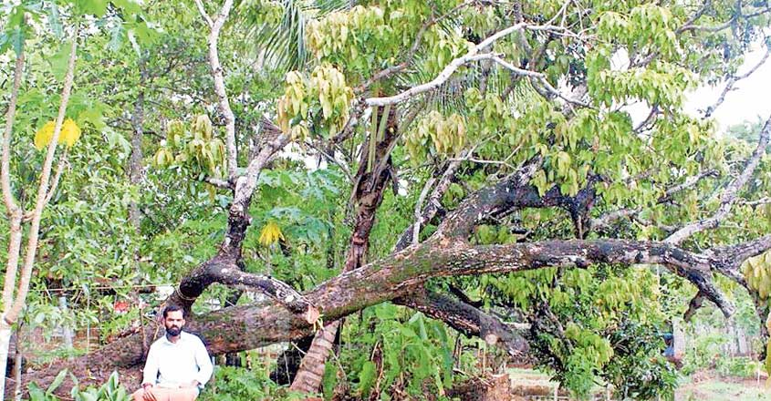 There is a guardian of mangoes in Kunhimangalam