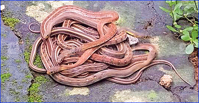 Kannur family shocked as snakes gather on courtyard