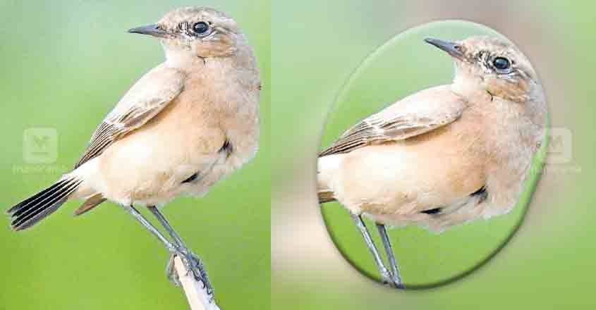 Presence of dryland bird likely sign of climate change
