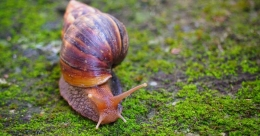 African snails irk people in Kasaragod village
