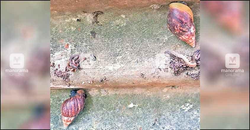 African snails irk people in Kasaragod village