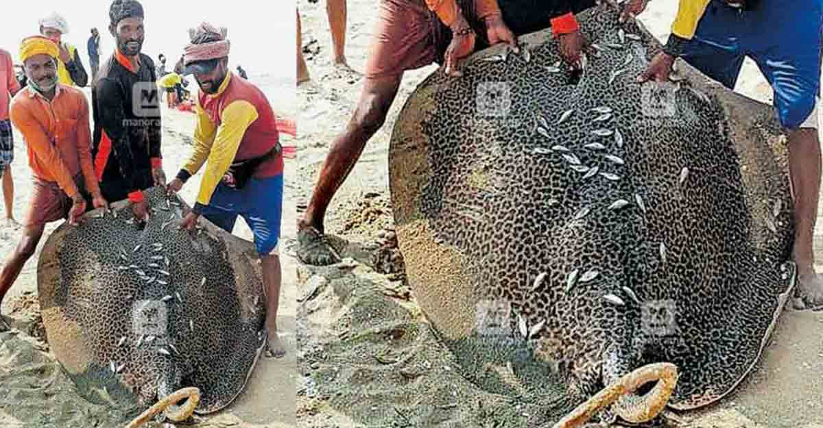 Rare eagle ray caught, sold for Rs 10,000 in Kerala's Kasaragod