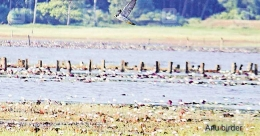 Peregrine falcon, world's fastest bird, sighted in Kollam