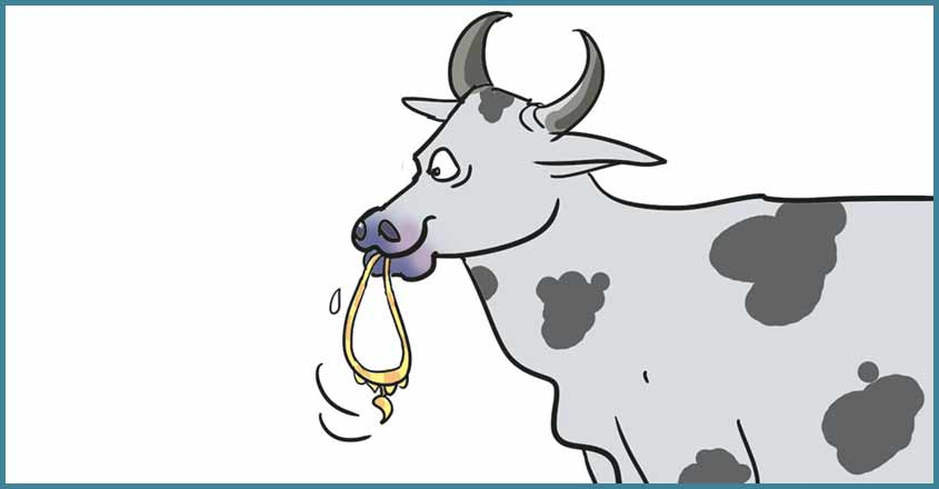 Gold chain swallowed by cow, recovered two years after