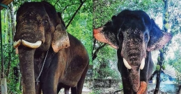 Kochayyappan freed from the misery of interlocked tusks