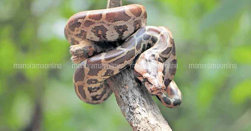 Python, found in a jewellery shop in Kannur, rescued