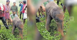 Newly-born elephant calf falls into reservoir, rescued by plantation workers