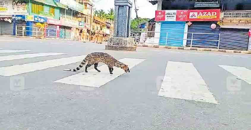 Small Indian Civet walks along the road in Kozhikode, video goes viral