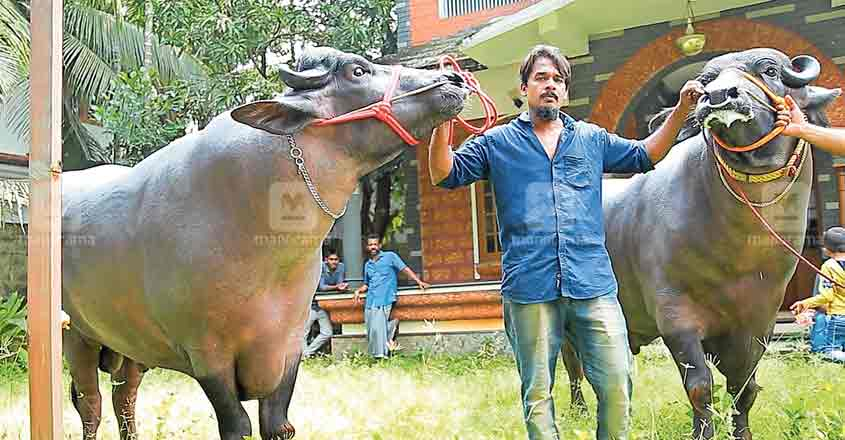 Sulthan weighs 1,460kg, Manikyam stands at 1,200kg – mighty Malappuram buffaloes