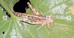 Dreaded desert locust spotted at farm in Malappuram