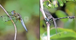 Silent Valley now has 8 new species of dragonflies!