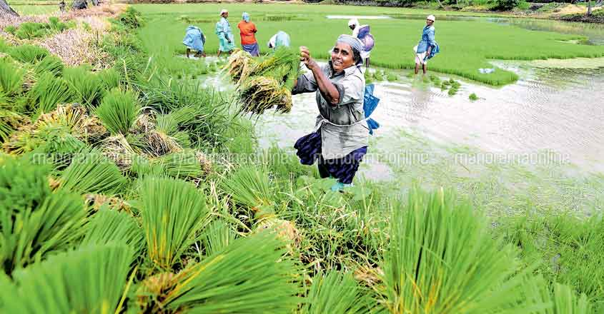 Palakkad paddy farmers bogged down by scanty rainfall