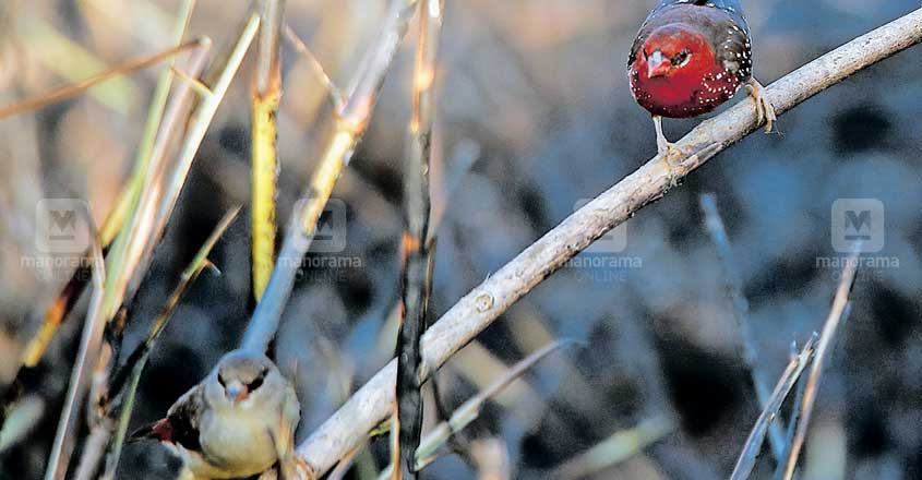 Rare Red Munia chicks burnt to death as miscreants set Bharathapuzha grasslands ablaze