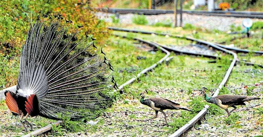Wild animals invade railway tracks, villages in Palakkad amid lockdown