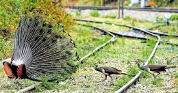 Wild animals invade railway tracks, villages amid lockdown