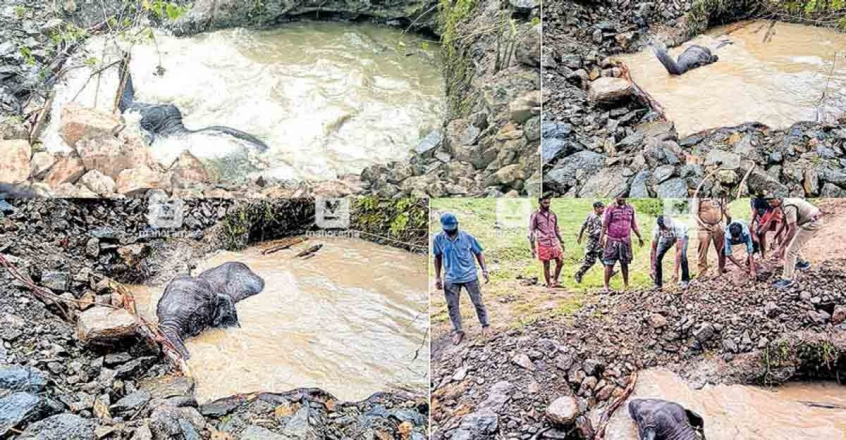 Forest Department rescues wild elephant calf from pond