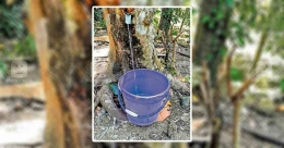 Fig tree turns crowd-puller in Pathanamthitta for its medicinal value
