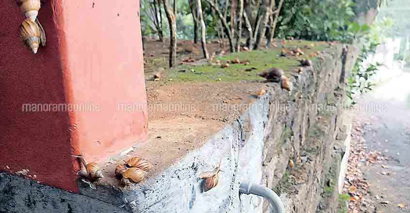 Invasive African snails threaten Ranni village