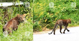 Leopard sighted on Sabarimala forest path