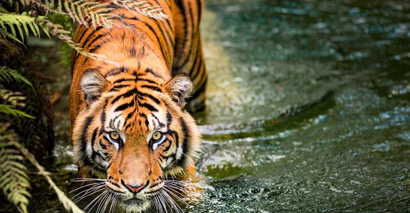 Now, Pathanamthitta burning bright with tigers