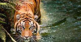 Pathanamthitta ahead in tiger count in Kerala