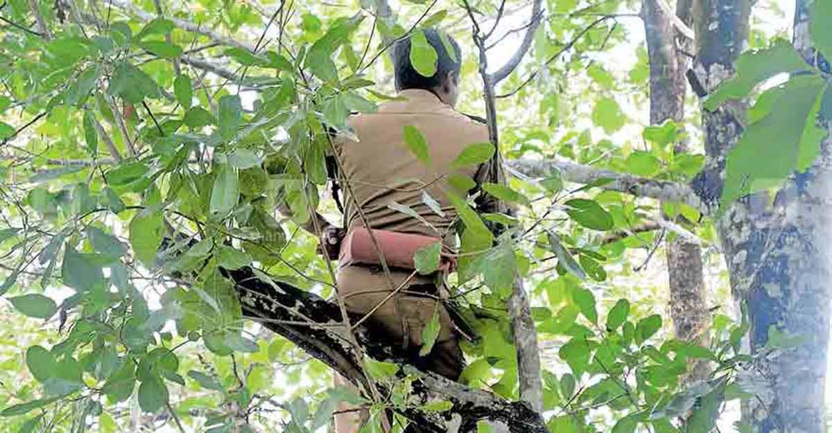 Forest personnel intensify efforts to capture tiger at Vadasserikkara