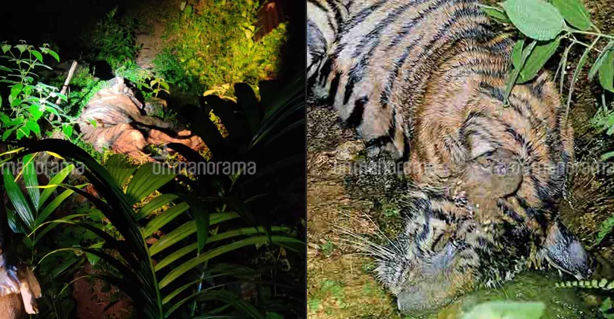 Tiger dies in Kerala forest, days after killing Idukki native