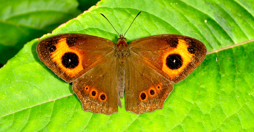 Red Disc Bushbrown