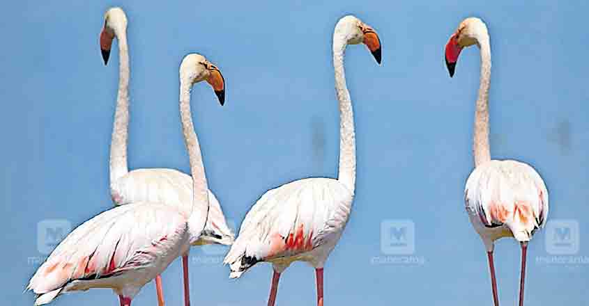 Greater flamingos flock to Thrissur wetlands