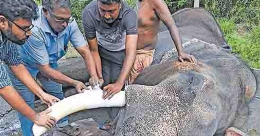 Tusk ache! An elephant undergoes root canal treatment in Kerala