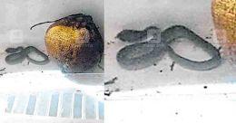 Thrissur woman finds live cobra in fridge