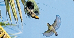 Baya weaver birds flock coconut trees at this Thrissur village