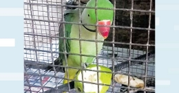 Parrot unable to fly puts forest officials in a spot