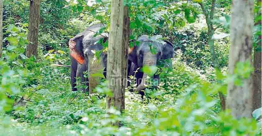 elephant-konni