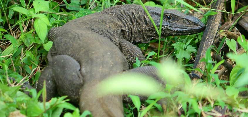 monitor-lizard-sangeeth